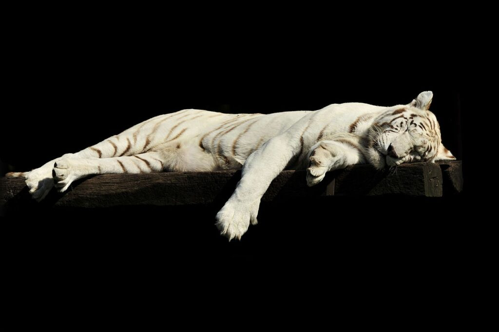 tiger, lazy, sleeping